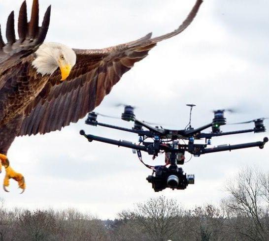 aquile reali a caccia di droni