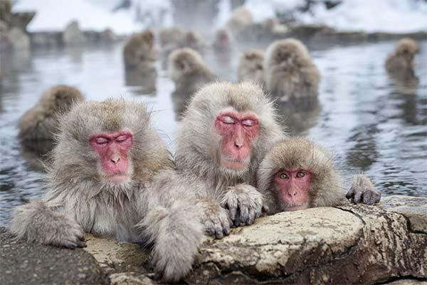 onsen scimmie