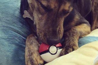 I cani impazziscono per le Poké Ball Plus dei loro padroncini