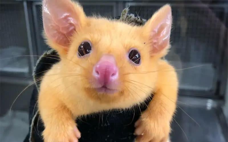 pikachu opossum australiano
