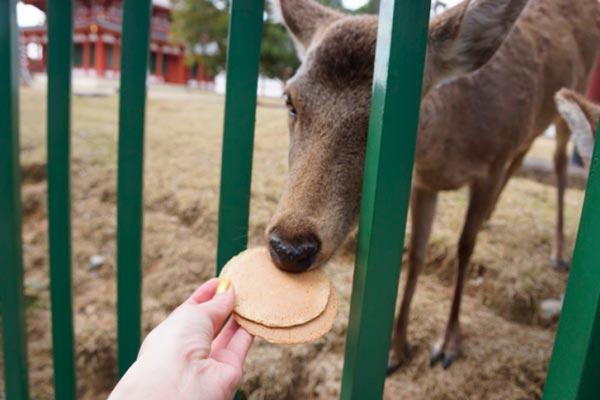 cervo a nara in giappone mangia craker