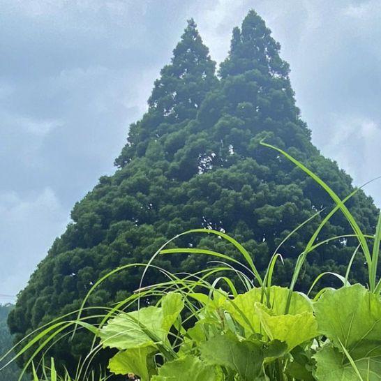 albero di totoro